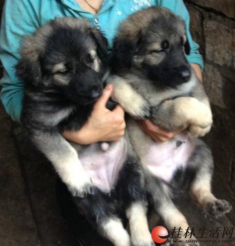 桂林临桂区出售纯种健康昆明犬幼犬