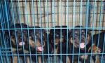 桂林象山区哪里有罗威纳犬出售卖