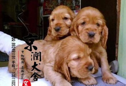 北京哪里出售纯种可卡犬