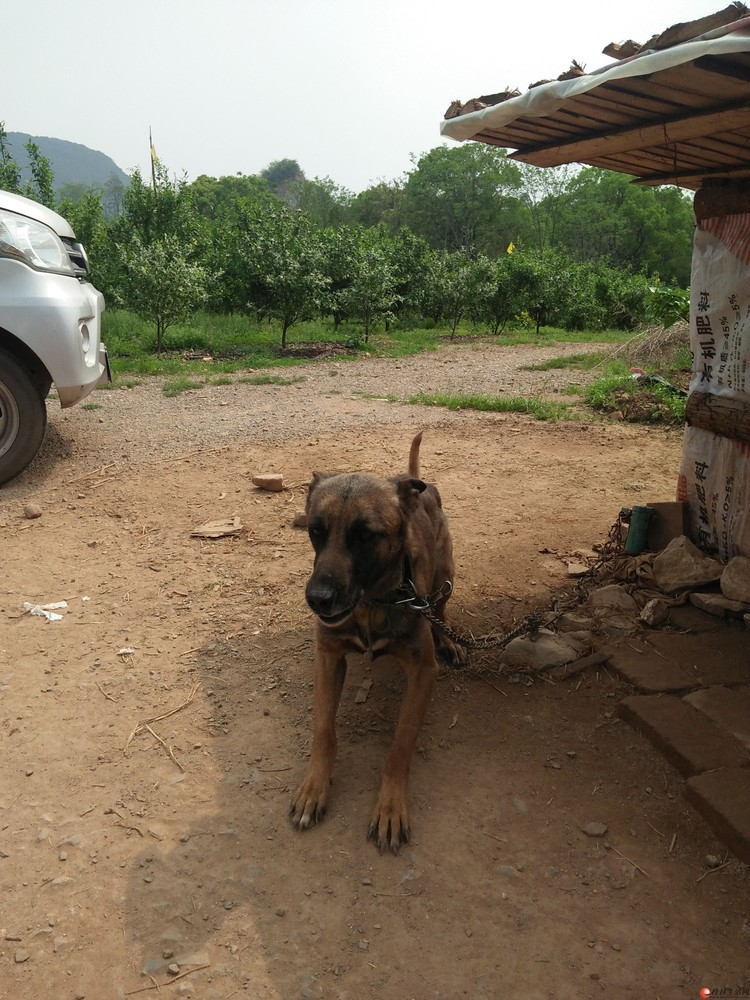 猎犬阿郎哥。111111