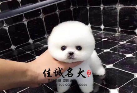 哪里有卖纯种宠物级博美犬的