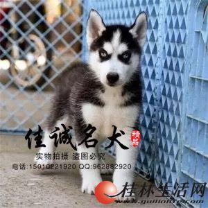 纯种哈士奇幼犬多少钱一只  正规哈士奇犬舍