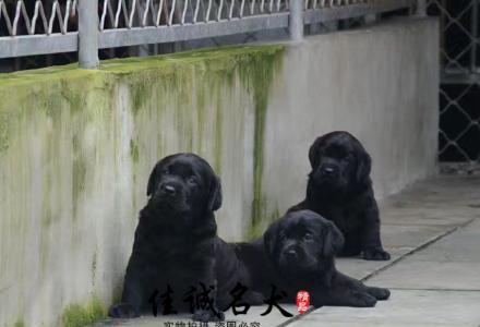 纯种拉布拉多幼犬多少钱一只 正规拉布拉多犬舍