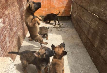 出售2个月小马犬,3公2母