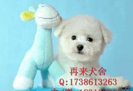 纯种比熊犬,出售赛级棉花糖比熊狗幼犬