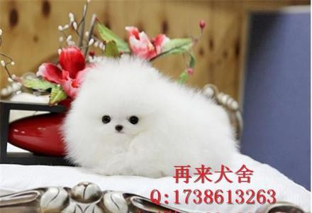 北京哪里出售纯种博美幼犬