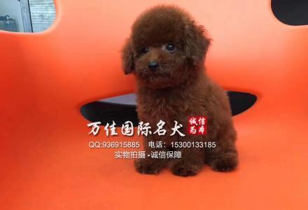 北京朝阳区哪里出售泰迪犬