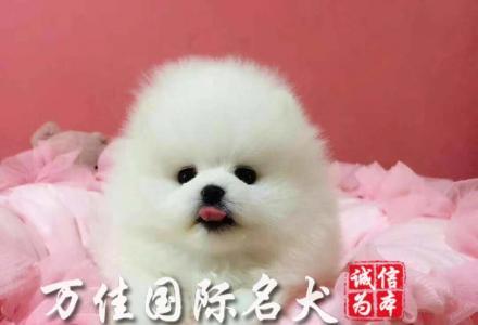 北京哪里出售博美犬     博美犬价格