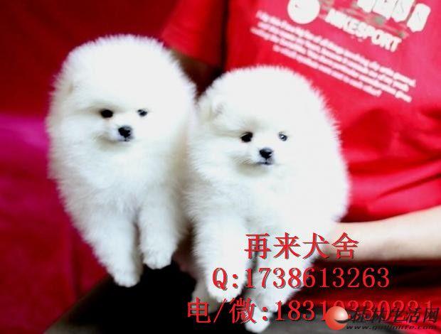 纯种俊介犬多少钱一只 俊介犬价格