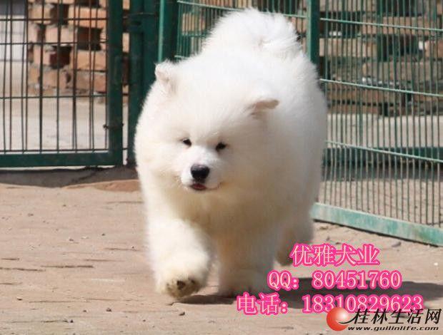萨摩耶幼犬 纯种澳版萨摩耶幼犬出售可签协议