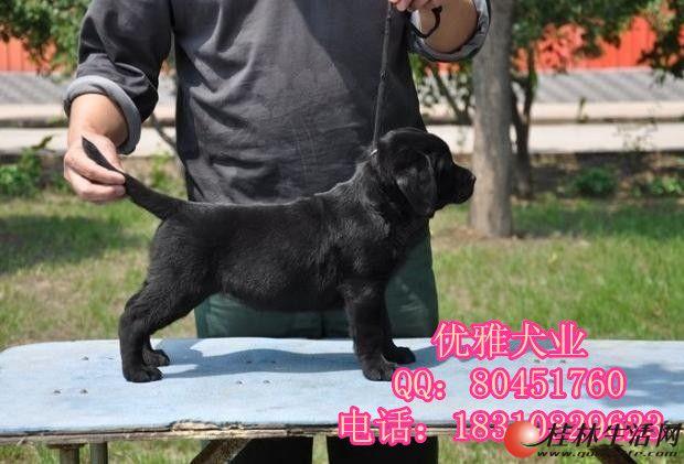赛级血统拉布拉多幼犬出售骨量足 北京边牧