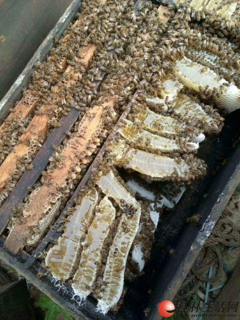 自家养的纯蜂蜜批发和零售