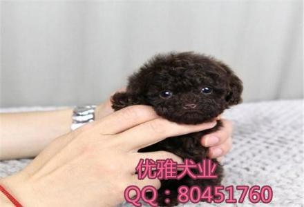 北京哪里有卖泰迪的,泰迪熊价格, 保健康保纯种