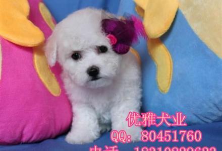 北京哪里出售从现在博美幼犬 博美图片