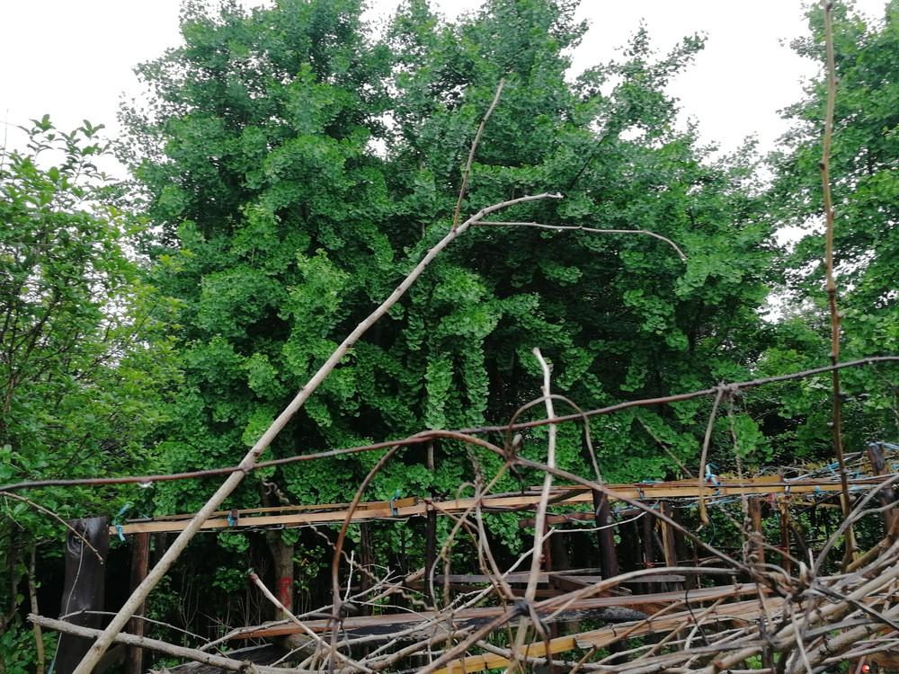低价出售各种树及树苗