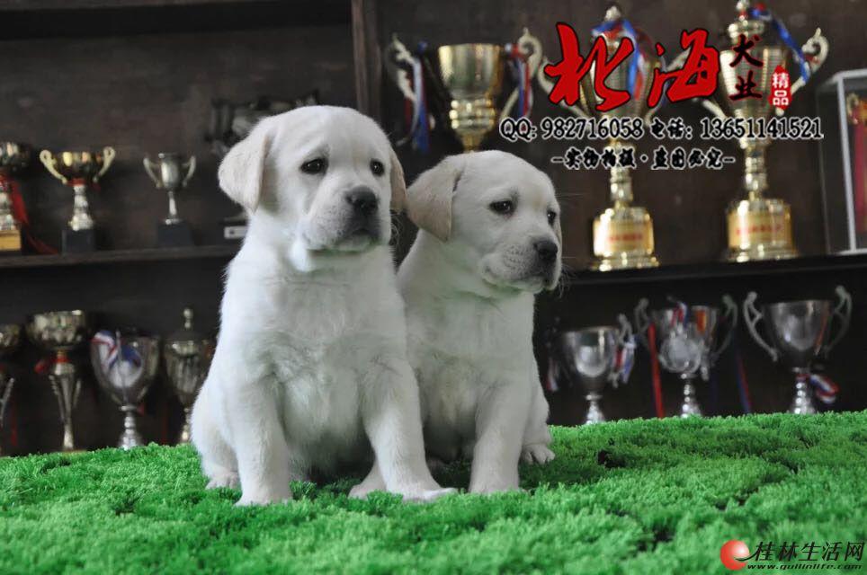 天津哪里出售拉布拉多犬