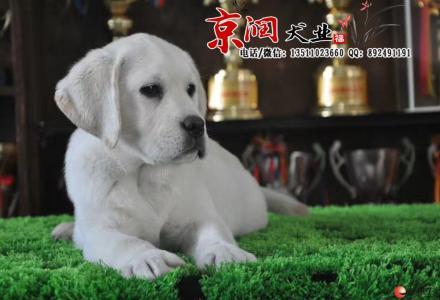北京哪卖纯种拉布拉多