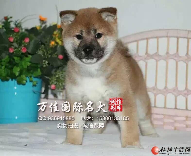 石家庄的纯种柴犬价格