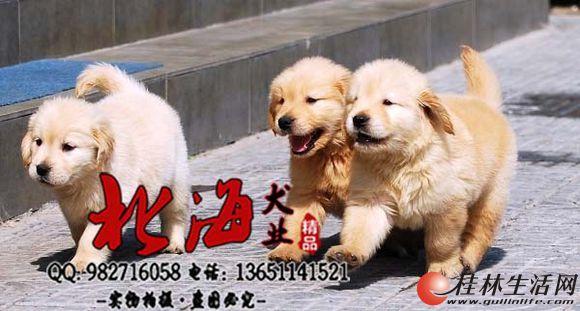 天津哪里卖纯种金毛犬