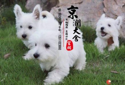 北京纯种西高地多少钱