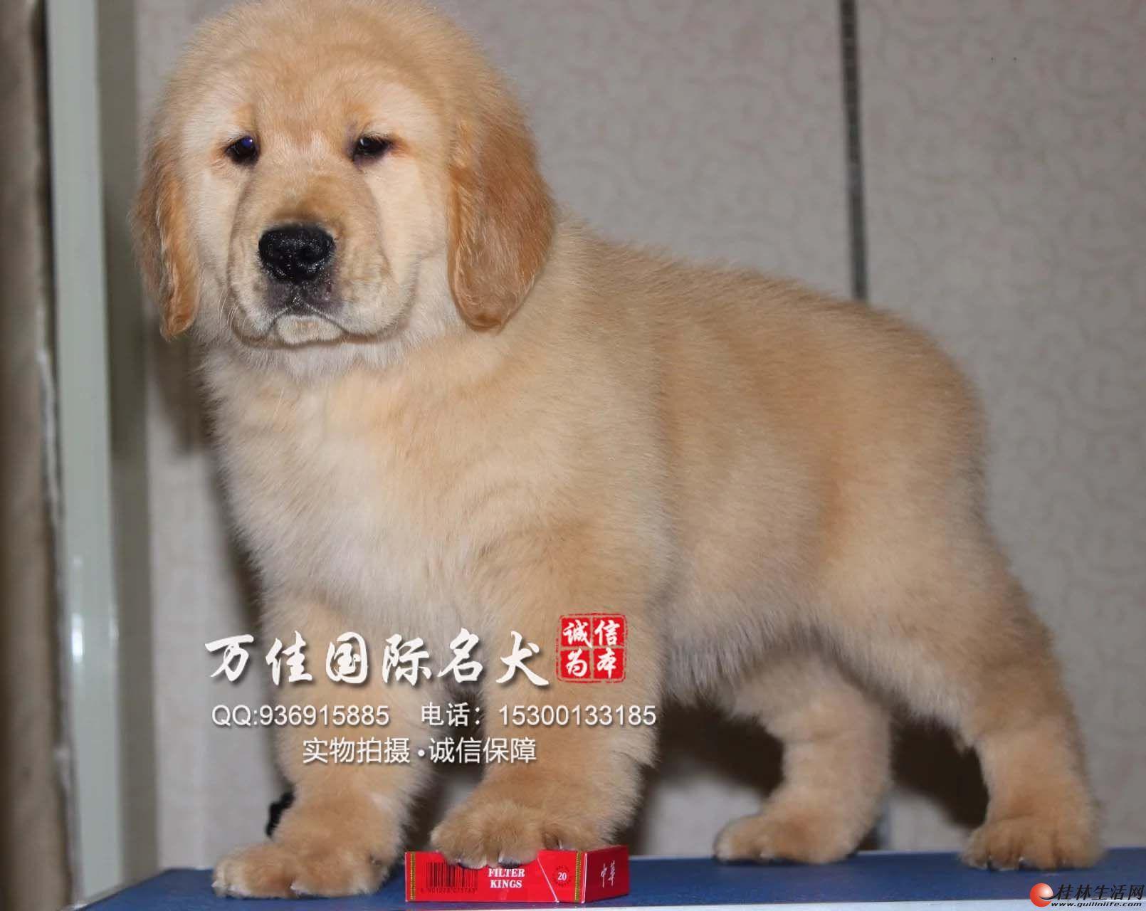 唐山哪里出售纯种金毛犬