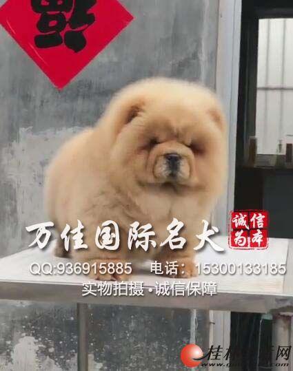 唐山哪里出售纯种松狮犬