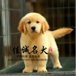 高贵气质大头金毛犬质保出售 三年包退换 签协议