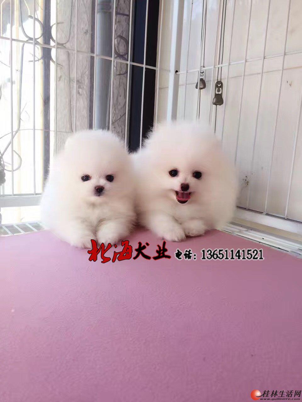 唐山哪里出售纯种博美犬