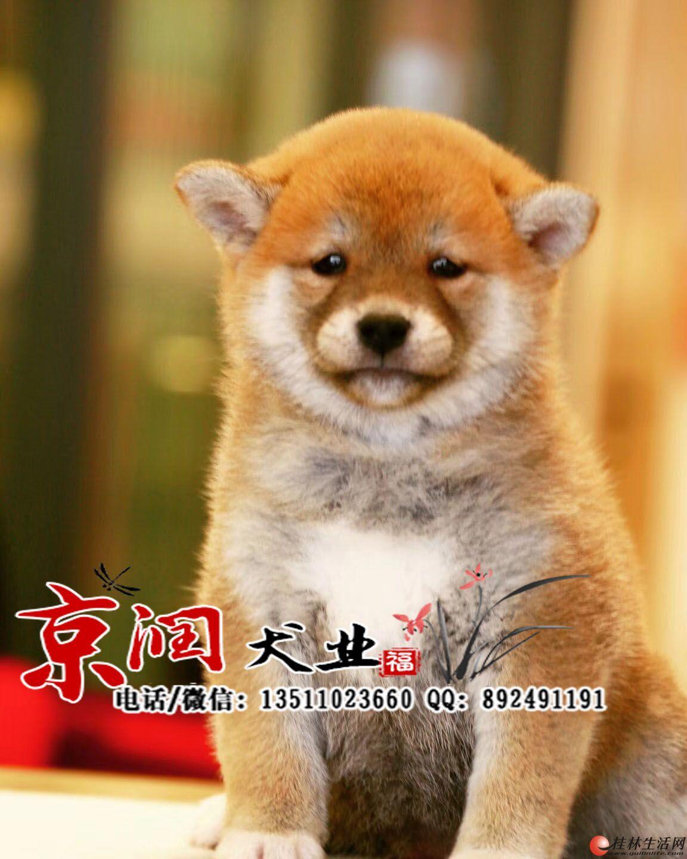 北京纯种柴犬多少钱一只