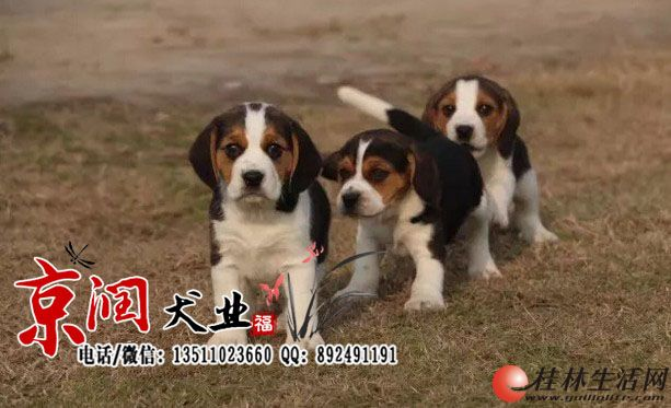 北京哪里有卖纯种比格