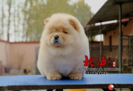 秦皇岛哪里卖纯种松狮犬