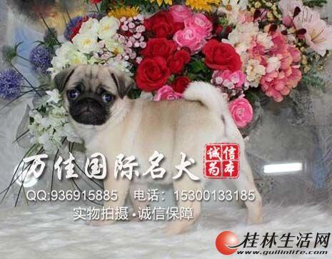 邯郸哪里出售纯种巴哥犬