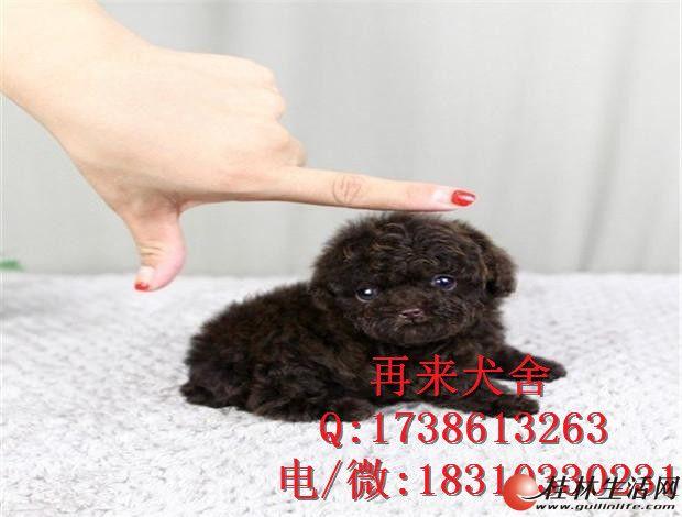 北京哪里出售纯种泰迪幼犬 泰迪价格
