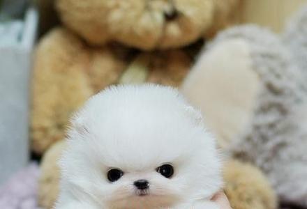 北京哪里出售纯种博美幼犬 博美多少钱一只