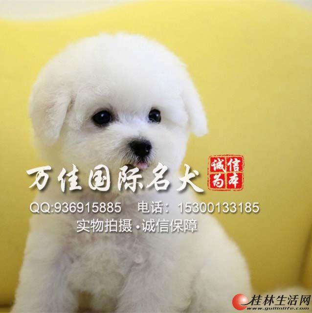 北京哪里出售纯种比熊犬