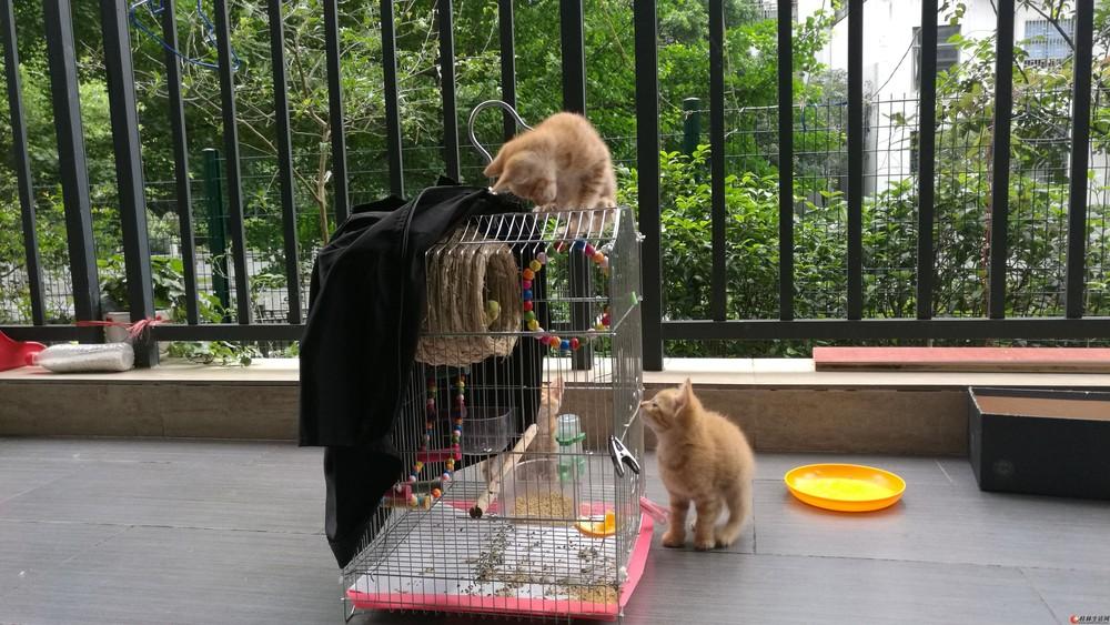 家养七只小黄幼猫出售