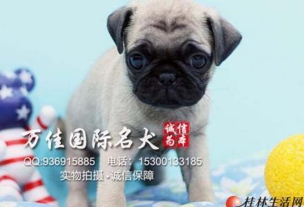 北京哪里卖纯种巴哥犬