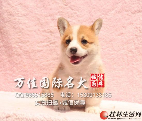 北京哪里出售纯种柯基犬