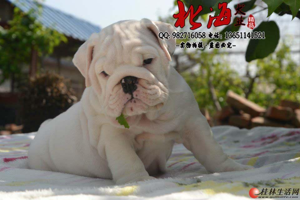 北京哪里卖纯种英国斗牛犬