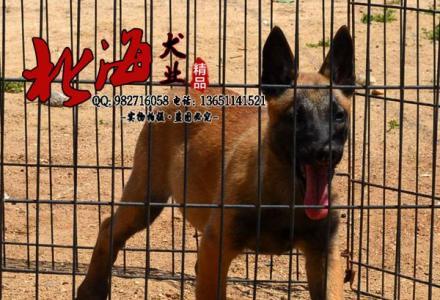北京纯种马犬多少钱一只