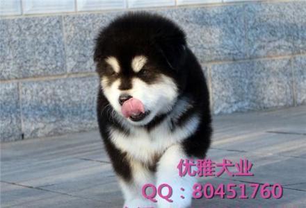 纯种阿拉斯加犬多少钱 北京哪卖阿拉斯加幼犬