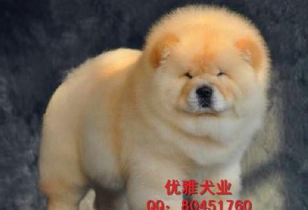 纯种松狮 北京肉嘴松狮 赛级松狮 高品质松狮幼犬