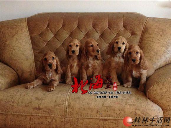 北京哪里卖纯种可卡幼犬