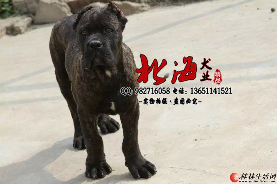 北京哪里卖纯种卡斯罗幼犬