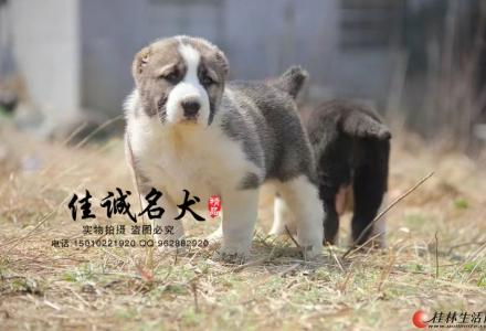 北京哪里卖纯种中亚牧羊犬
