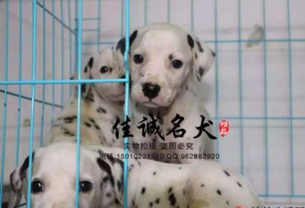 北京哪里卖纯种斑点犬