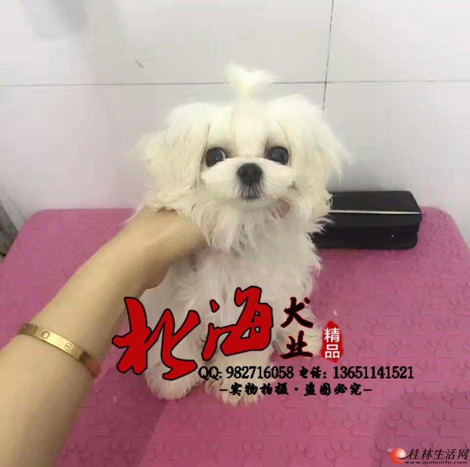 北京哪里卖纯种马尔济斯幼犬