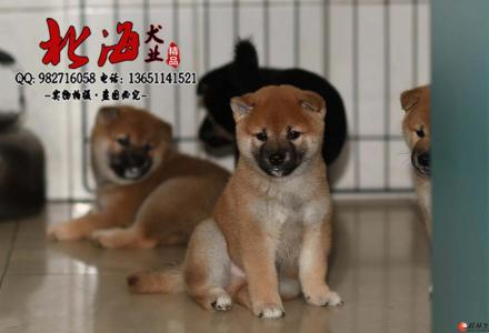 北京哪里卖纯种柴犬价格