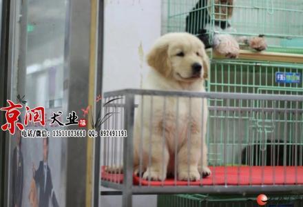 北京哪里出售纯种金毛犬
