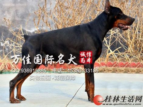 北京哪里卖纯种杜宾犬